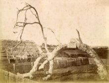 Proclamation Tree, Glenelg, c1880